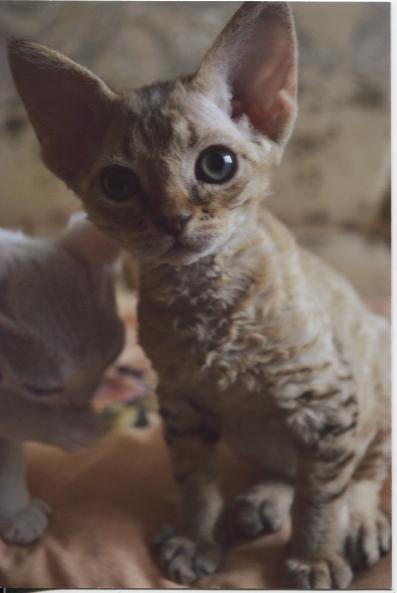 Кота на вязку девон рекс